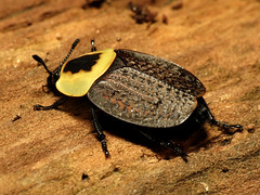 American Carrion Beetle (treegrow) Tags: nature insect washingtondc beetle rockcreekpark arthropoda coleoptera lifeonearth raynoxdcr250 silphidae necrophilaamericana taxonomy:binomial=necrophilaamericana canonpowershotsx40hs