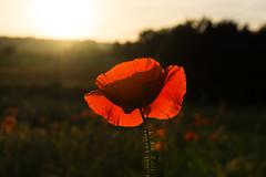 DSC04575 (wheelsy1) Tags: walking derbyshire poppy chesterfield sheepbridge poppyfield unstone richardwiles