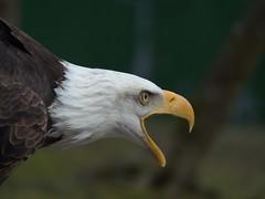 Weikopfseeadler (michaelmeiser) Tags: tiere vgel tier vogel weiskopfseeadler