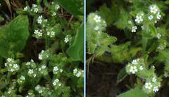 Thicksepal Cryptantha - Cryptantha crassisepala (beautyinature4me) Tags: arizona white small may sedona wildflowers borage 2016 boraginaceae springintosummer thicksepalcryptanthacryptanthacrassisepala