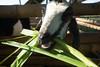 Kebun Setaman Pejeng (alimander) Tags: garden indonesia goat weeding lawnmover