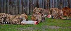 Allwetterzoo Mnster (Gnter Hentschel) Tags: germany deutschland zoo tiere nikon europa tiger leopard alemania rasputin allemagne mnster esel germania schlange zhne bren lwe allwetterzoo elefanten nikond3200 ftterung allwetterzoomnster d40 d3200 nikond40