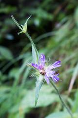 Delicate purple mountain flower