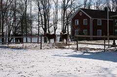 Vårvinteridyll (Algots) Tags: winter horses landscape vinter spring redhouse småland idyll vår hästar rötthus