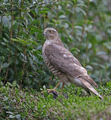 Sparrow hawk Female (Pikingpirate1) Tags: female hawk wildlife raptor sparrow prey