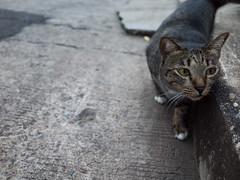 I0000303 (tatsuya.fukata) Tags: animal cat thailand samutprakan