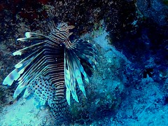 Lion Fish - Next to be removed (Derrick Laszlo) Tags: diving curacao april lionfish 2016