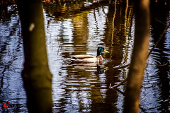 Wald (Graphic works Photografie) Tags: sea nature see natur ente baum vogel frhling weiher