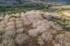Cerezos en flor desde el aire (Udri) Tags: espaa landscape spain europa aerialphotography cherrytree jerte aerea extremadura caceres cerasus florecer cerezos p3a valledeljerte navaconcejo phantom3advance