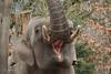 Asiatic elephant Maurice (K.Verhulst) Tags: elephant maurice elephants amersfoort olifanten dierenparkamersfoort aziatischeolifant asiaticelephants aziatischeolifanten