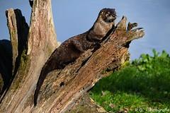Fischotter / Otter (R.O. - Fotografie) Tags: wild nature lumix outdoor natur panasonic otter tierpark fz 1000 dmc wildpark wildgehege neuhaus fischotter solling fz1000 dmcfz1000
