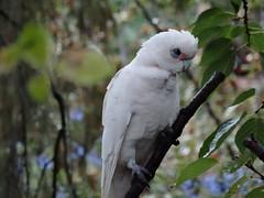 corella (aussielyn6) Tags: bird native australian corella australianbird
