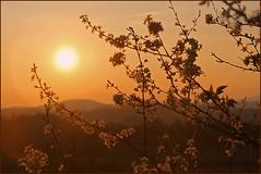 IMG_2962 (pappleany) Tags: sunset flower backlight bavaria evening abend spring sonnenuntergang outdoor natur blumen frhling gegenlicht bayerischerwald pappleany atzldorf