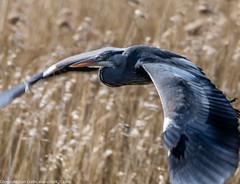 9Q6A9799 (2) (Alinbidford) Tags: lapwing cormorant buzzard greyheron littleegret redshank greatcrestedgrebe brandonmarsh alancurtis alinbidford weepingwillowbuds