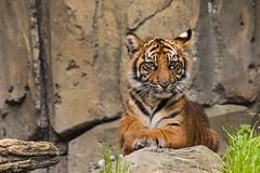 JaxZoo_4-20-16-7350 (RobBixbyPhotography) Tags: animals zoo cub lucy florida tigers jacksonville berani panari kinleighrose
