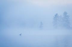 Purple Mist (SavingMemories) Tags: mist lake ontario canada bird water misty fog spring north britt loon morningmist nearnorth commonloon ontarioparks purplemist savingmemories grundylakeprovincialpark suemoffett