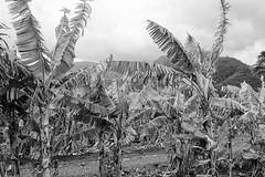 Banana Trees (rschnaible) Tags: bw food usa white black tree botanical photography hawaii us tour pacific farm farming sightseeing monotone maui banana tourist production touring