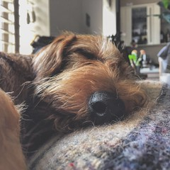 (Krillinator) Tags: sleeping hairy dog pet baby brown cute beautiful easter nose photography photo wire focus peace angle natural sleep adorable peaceful dachshund wirehaired snooze pup haired snuggly iphone edites