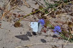 Pontia daplidice (Linnaeus, 1758). Macho (Jess Tizn Taracido) Tags: lepidoptera pieridae pierinae papilionoidea pierini pontiadaplidice