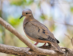 Eared Dove (Zenaida auriculata) (Jeluba) Tags: bird nature horizontal canon wildlife aves curacao ornithology birdwatching oiseau willemstad westindies 2016 neotropical lesserantilles eareddove zenaidaauriculata petitesantilles tourterelleoreillarde ohrflecktaube