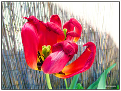 Wilted Tulip (Stephenie DeKouadio) Tags: light plant flower color colour art beautiful beauty canon painting photography spring colorful tulips blossom outdoor tulip