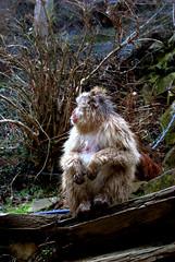 That wet monkey smell (Kyle Horner) Tags: japanesemacaque kanbayashi snowmonkeyresorts