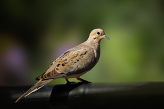 A Stitched Dove (Patricia Ware) Tags: canon flash handheld mourningdove zenaidamacroura playadelrey caliornia specanimal photostitiching 2016patriciawareallrightsreserved
