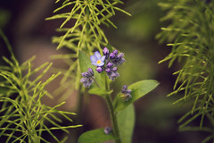 DSC_5874 (Kll at GMS) Tags: blue alaska purple forgetmenot wildflowers gypsymoonstudios akfineart kelliharlow