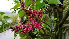 Flieder (Syringa) (warata) Tags: italien italy alps italia blumen alpen shrub baum strauch sdtirol frhling altoadige southtyrol blten dolomiten flieder 2016 syringa
