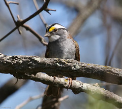 White-throated Sparrow (Phil Kenny) Tags: whitethroatedsparrow