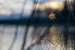 Sunset (Nyllet) Tags: sunlight water grass reflections bokeh straws meyeroptikgrlitzprimoplan5819