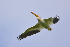 American White Pelican (kenyoung3) Tags: bird flight pelican birdsinflight americanwhitepelican