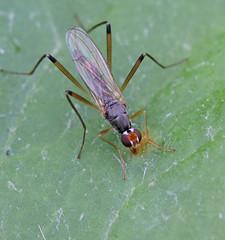 Neria cibaria (4) (saracenovero) Tags: flies diptera 2015 micropezidae mazeikiai neriacibaria fliesoflithuania