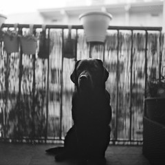 my Dog Molly (redy1966) Tags: blackandwhite bw dog monochrome analog rolleiflex labrador kodak tmax hund 100 analogue 2016