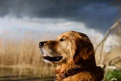 18/52 drama clouds and Albert (Jutta Bauer) Tags: dog clouds goldenretriever albert profile drama 1852 52weeksfordogs absolutalbert almightyalbert 52weeksforalbert