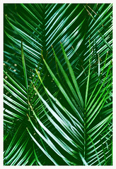 Frondes de Palmier (Anita Waters) Tags: green film fuji mju superia olympus lagoon palm trail 400 simplicity tropical analogue minimalism fronds narrabeen xtra