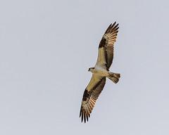 Osprey On The Hunt 1118 (Phrankx) Tags: bird nature raptor birdsinflight osprey hunt fisheagle fishhawk seahawk riverhawk