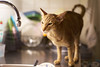 Time to do the dishes... (Wiktor Kettel) Tags: olympusom zuiko5018 f18 cat oriental orientalshorthair bokehwhore