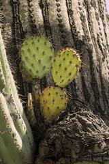 Prickly pear growing on a saguaro, Bajada Loop Nature Trail, Sabino Canyon (Distraction Limited) Tags: arizona cactus nature tucson opuntia pricklypear coronadonationalforest catalinamountains saguaros catalinas sabinocanyon santacatalinamountains carnegieagigantea carnegiea opuntiaengelmannii engelmannspricklypear earthnaturelife bajadaloopnaturetrail sabinocanyon20160406
