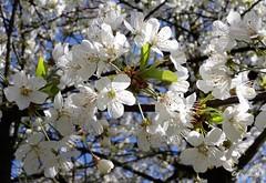 Ephemeral (frenziM) Tags: flower tree cherry spring poetry blossom poetic printemps ephemeral cherrytree cerisier frhling fleursdecerisier phmre