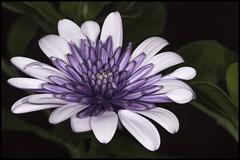 Osteospernum (Violet Ice) (Darwinsgift) Tags: flower macro ice nikon focus d flash violet micro manual af nikkor f4 osteospernum 200mm r1c1 sbr200 d810
