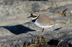Little Ringed Plover (Tim Melling) Tags: little south yorkshire plover ringed timmelling chardriusdubius