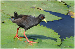 Black Crake (Petri_) Tags: bird southafrica waterlilies krugernationalpark birdlife blackcrake lakepanic amaurornisflavirostra nikond300 nikkor80400f4556afvr