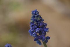 _DSC3250 (Simply Angle) Tags: flower macro closeup spring colorful blossom bokeh blooming a7ii deerparkwa canonfd100mmf4macro sonya7ii ilce7m2