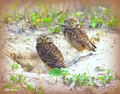 Nice couple (tinica50) Tags: bird fauna aves owl coruja corujaburaqueira