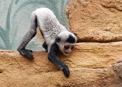 Baby colobus monkey (Springhare) Tags: monkey colobus babyanimal