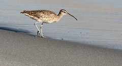 Whimbrel on the Beach (Med Gull) Tags: zegrahm cruise southamerica chile atacama mejillones whimbrel wader shorebird