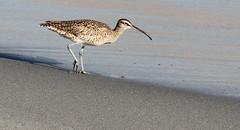 Whimbrel on the Beach (Med Gull) Tags: zegrahm cruise southamerica chile atacama mejillones whimbrel wader shorebird