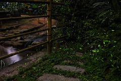 (Len) Tags: nature nightshot firefly 6d 518 2016   ef50mmf18iiusm