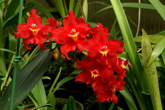 Odontioda Feuerteufel (rolf_leon) Tags: orchids oncidium odontoglossum orchideen orchides